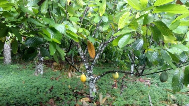 Plantation 2  Fazenda X2