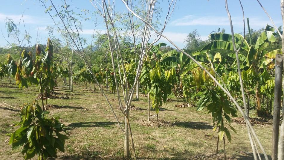 Plantation_Lampang_20180125