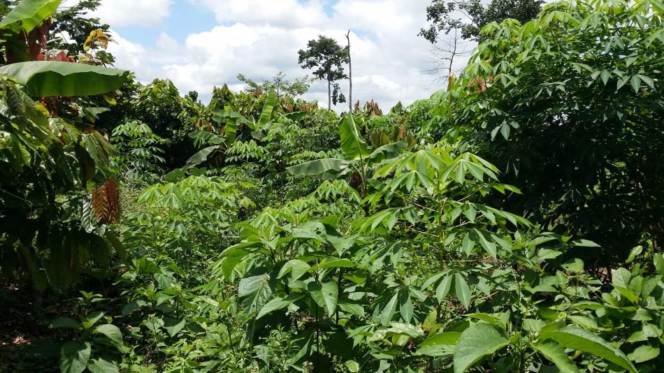 RCIi-Djongobo-Cacao+vivriers-20161001
