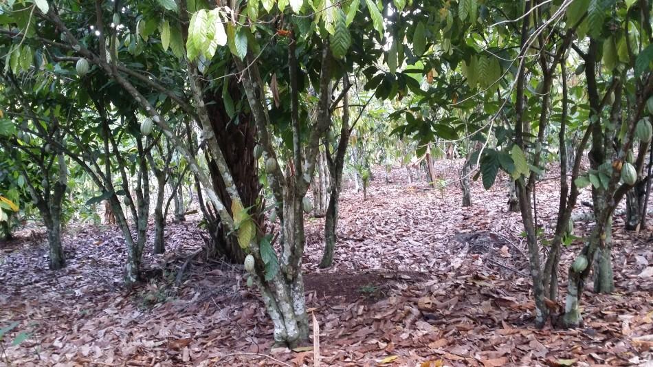 RCI-Hibre-Gogobro-Old-Plantation-20160925