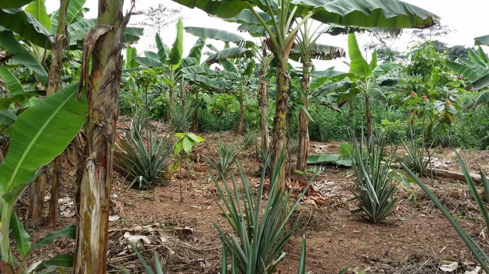 RCI-Mbrimbo-Jeune_Plantation-Ananas-20160924