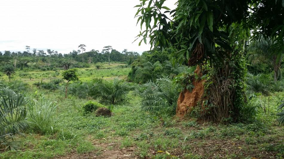 RCI-Plantation-Palmier-huile-20160925