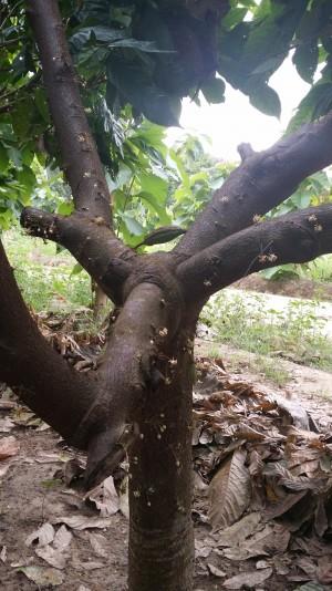 RCI-SOLEA-Cacao-Mercedes-bois-20160930