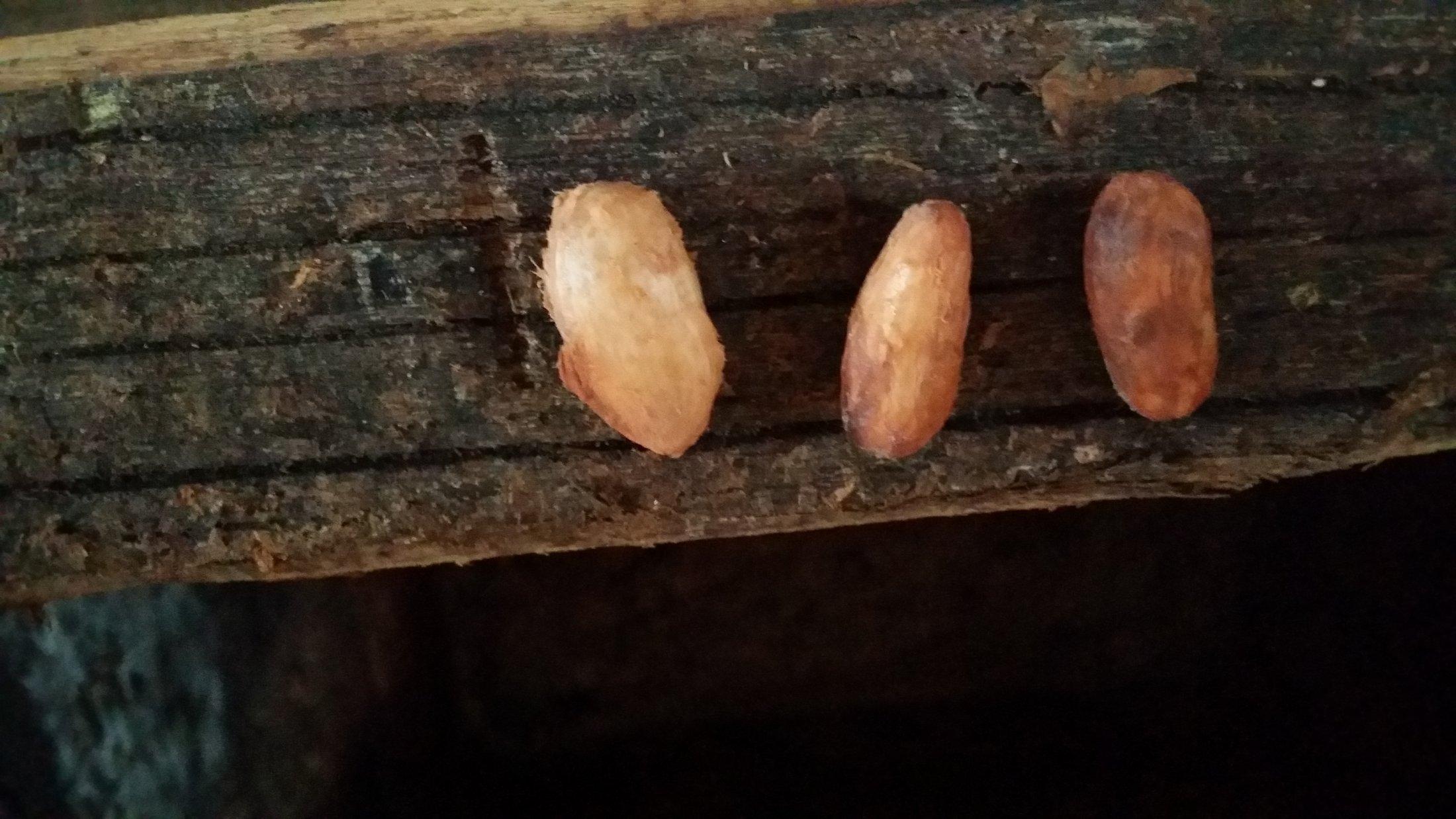 fèves Maragnan et Cacau Comun (en cours de fermentation)