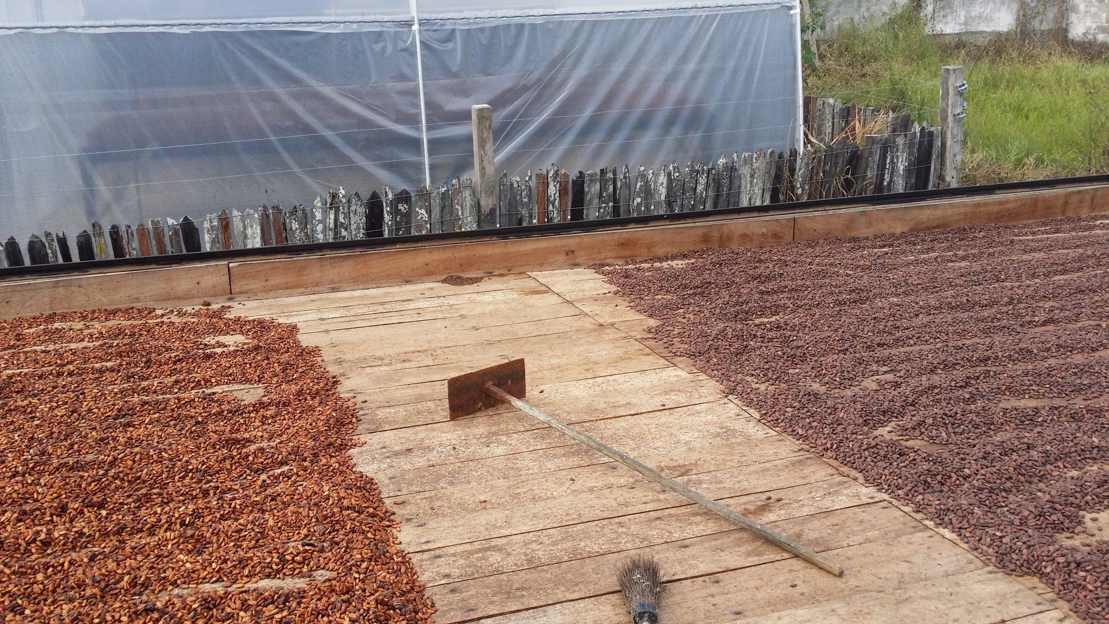 Séchage de fèves ordinaires et de cacao fin Maranhão (à droite)