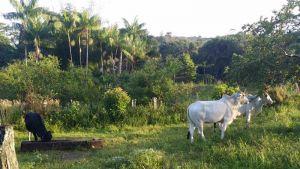 Fazenda Vera Cruz, Una (Bahia) - Bétail