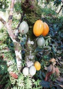 Cacaoyers dans la cabruca