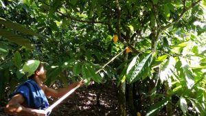 Fazenda Vera Cruz, Una (Bahia) - Récolte