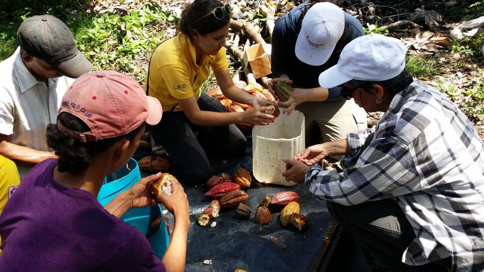 Opening  CacaoPods, Academia de Cacao - Ingemann Cacao Fino, Nicaragua. Photo: Gabriel Metz, eCacacoS