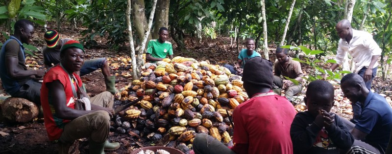Opening pods. A Sunday morning in a cocoa plot near Abenguru, Ivory Coast