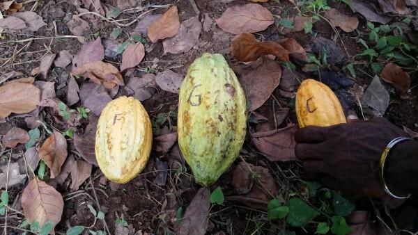 """""""Cacao français"""", """"Cacao Ghana"""", """"Tout venant"""". Photo: eCacaoS, 2016"""